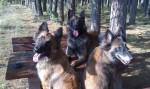 Zucht belgische Schäferhunde Tervueren